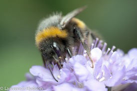 Photo of a bumblebee by Lawrence Hudson