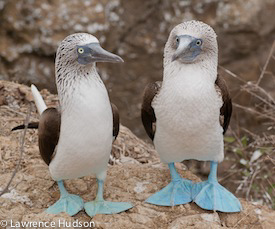 Photo of two blue-footed boobies by Lawrence Hudson