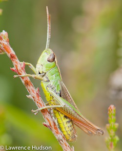 Photo of a grasshopper by Lawrence Hudson