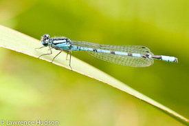 Photo of a damselfly by Lawrence Hudson