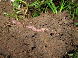 Photo of an earthworm by Victoria Burton